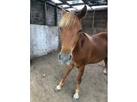 New forest pony for full or part loan