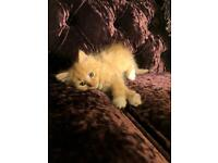 2 beautiful boy kitten available
