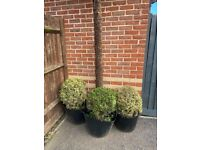Buxus Bushes 3 Available - mature 20 years old