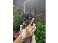 Chihuahua boy puppy for sale