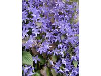GARDEN PLANTS Campanula (Blue Bell Flower) Hardy Perennials 30 pots of well established plants.