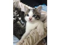 TWO MALE KITTENS LEFT TO GO ASAP