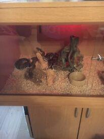 3 royal pythons and vivarium