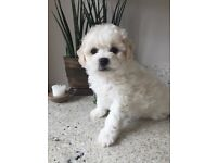 Bichon Frise puppies. Sired by Crufts champion 2016
