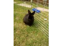 Pure Netherland dwarf male free to good and forever home