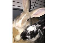 2 Female Bunny Rabbits - 6 months old