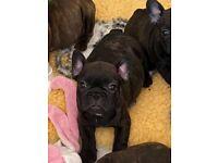 Breed standard French Bulldog puppies