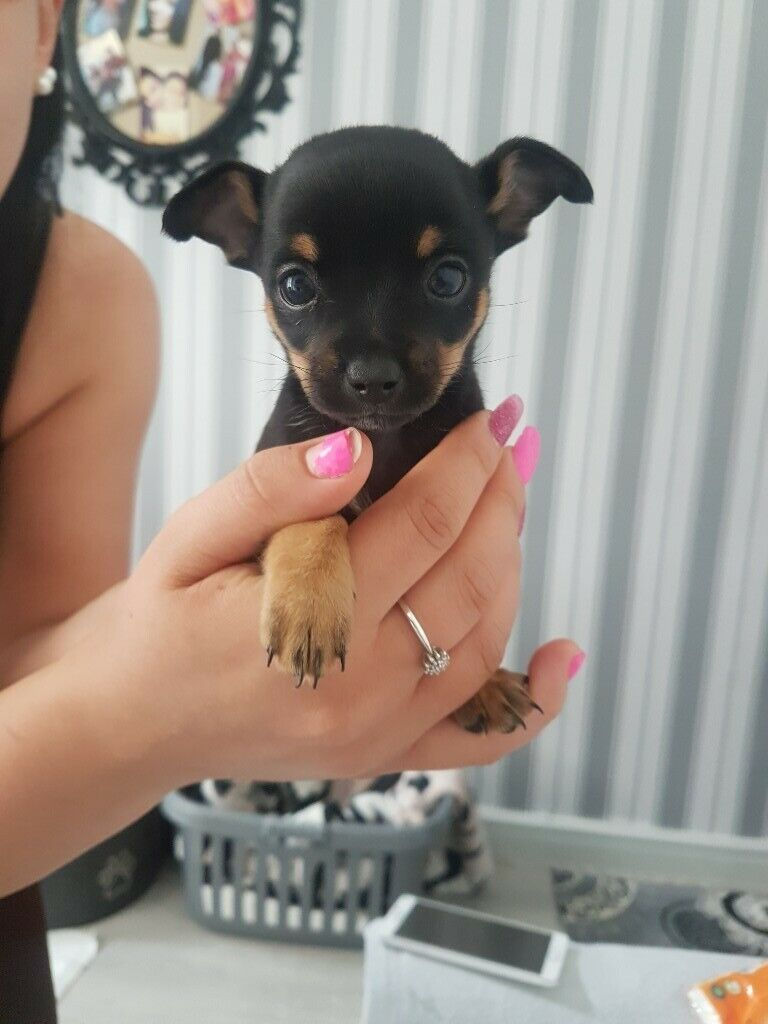 Beautiful chihuahua puppies for sale | in Basford, Nottinghamshire | Gumtree