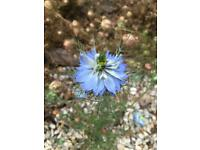 FREE: Love in the Mist seed heads - garden plants
