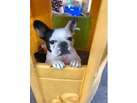 FRENCH BULLDOG PUPPIES - STUNNING HEALTHY PURE BRED PUPS - ONLY 4 AVAILABLE