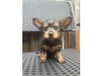 1 girl Yorkie puppy