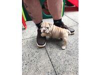Kc registered English bulldog pups