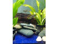 Tropical fish Kribensis