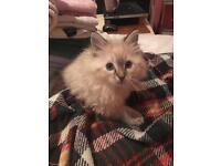Ragdoll Male Kitten