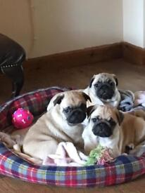 3 beautiful pug puppies (ready now)