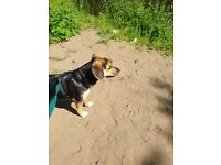 1 year old Beagle/Mammaduke on the 27th october