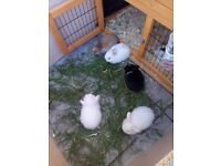 Ready for loving homes.....8 week old baby rabbits....All handled daily..... £20 each