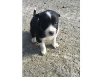 Collie/Sheepdog Pups