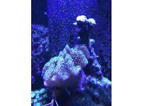 Toadstool marine saltwater
