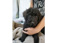 LABRADOODLE PUPPIES READY NOW TOTALLY VACCINATED