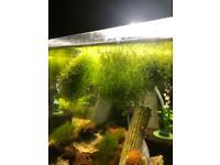 Riccia Floating Plant