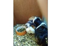 Two sisters Guinea pig 20 months old.