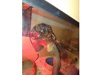 Royal python with vevarium