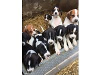 Beagle harrier pups