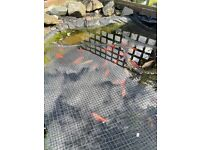 30 gold pond fish (koi) _ negotiable price