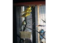 Budgies for sale beautiful colour bird
