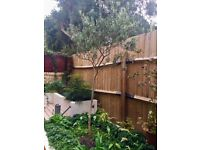 Two standard Olive Trees (Olea europaea) 2.40m and 2.30m high. For sale because of garden re-design