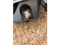 2 female Russian Dwarf hamsters