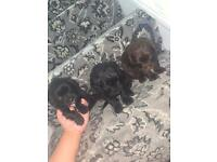 Lovely cocker spaniel puppies looking for a forever home