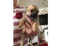 2 Male Chihuahua's and Female Chorkie for sale.
