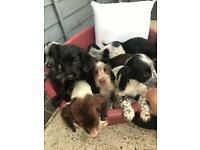 Cocker Spaniel Puppies £875