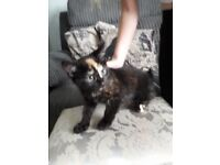 Female Calico Kitten 12 wks £120 ono