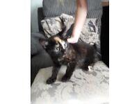 Female Calico Kitten 12 wks £120 STILL AVAILABLE 19TH AUG
