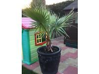 Mexican fan palm tree