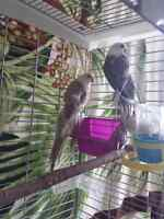 Blue pied red rump parakeets
