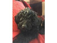 One Beautiful Toy Poodle Female Puppy reduced price £495