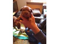 3 dogue de Bordeaux x American bull dog puppies