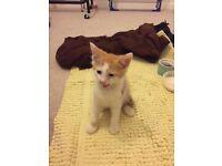 White and ginger Kitten