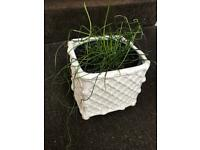 White square Ceramic pot. 7 1/2 inches square +large curly plant