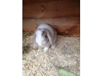 Male mini lop for sale