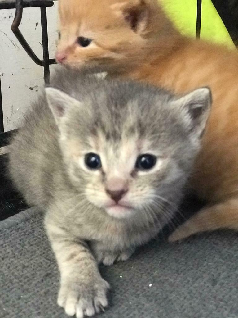 4 Beautiful Kittens For Sale All Now Sold In Pitlochry Perth And Kinross Gumtree
