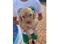 6 girls and 1 boy Cockapoo for sale