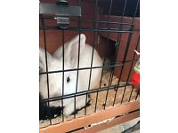 White Netherland Dwarf + Hutch & Run