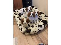 Cavailier king Charles puppy