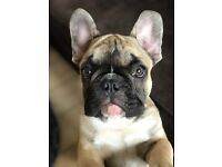 Gorgeous light fawn French Bulldog.