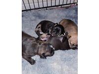 Puppys 2 boys 2 girls fruggles (frenchie x pug)